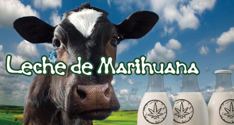 Cómo preparar leche de marihuana en muy pocos pasos